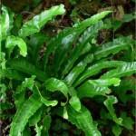 Волски език - Asplenium scolopendrium-билка