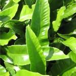Волски език - Asplenium scolopendrium- листа