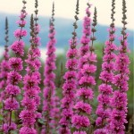 Обикновена блатия - Lythrum salicaria-билка