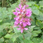 Обикновена блатия - Lythrum salicaria-цвят
