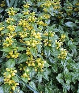 Билка-Жълта мъртва коприва - Lamiastrum galeobdolon