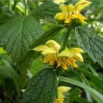 Random image: Жълта мъртва коприва - Lamiastrum galeobdolon-билка
