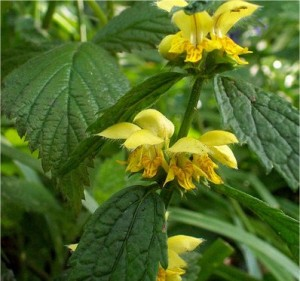 Жълта мъртва коприва - Lamiastrum galeobdolon-билка