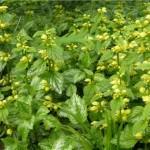 Жълта мъртва коприва - Lamiastrum galeobdolon- в природата