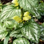 Жълта мъртва коприва - Lamiastrum galeobdolon-листа
