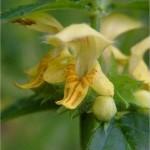 Жълта мъртва коприва - Lamiastrum galeobdolon-цвят