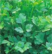 Магданоз - Petroselinum crispum-билка