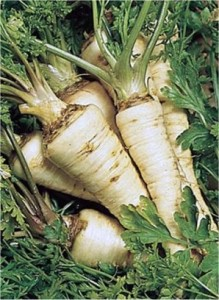 Магданоз - Petroselinum crispum -корени