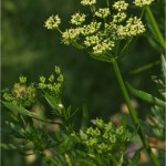 Магданоз - Petroselinum crispum -цвят