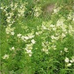 Билка Блатен тъжник - Filipendula ulmaria (L.) Maxim