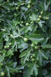 Билка-Обикновена смокиня - Ficus carica