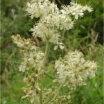 Блатен тъжник - Filipendula ulmaria (L.) Maxim-билка