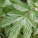 Блатен тъжник - Filipendula ulmaria (L.) Maxim-лист