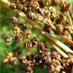 Блатен тъжник - Filipendula ulmaria (L.) Maxim-плод
