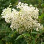 Блатен тъжник - Filipendula ulmaria (L.) Maxim-цвят