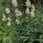Блатен тъжник - Filipendula ulmaria (L.) Maxim