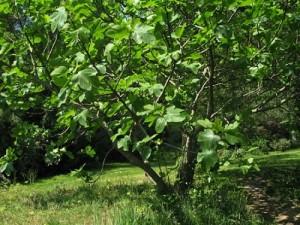 Обикновена смокиня - Ficus carica-в природата