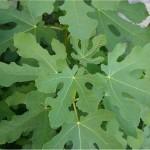 Обикновена смокиня - Ficus carica-листа