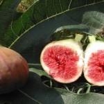 Обикновена смокиня - Ficus carica-плод