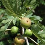 Обикновена смокиня - Ficus carica