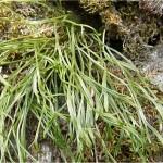 Северно изтравниче - Asplenium septentrionale- в природата