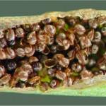 Северно изтравниче - Asplenium septentrionale- сори