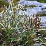 Северно изтравниче - Asplenium septentrionale