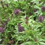 Босилек - Ocimum basilicum-билка