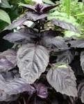 Босилек - Ocimum basilicum-лист