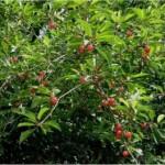 Вишна - Prunus cerasus L.-дърво