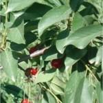 Вишна - Prunus cerasus L.-лист
