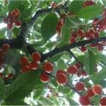 Вишна - Prunus cerasus L.-плод