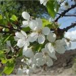 Random image: Вишна - Prunus cerasus L.-цвят