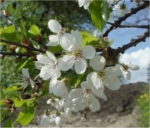 Вишна - Prunus cerasus L.-цвят