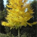 Гинко билоба - Ginkgo biloba L.-лечебно растение