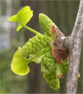 Гинко билоба - Ginkgo biloba L.-мъжка реса
