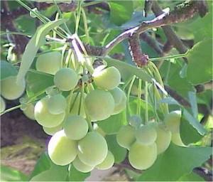 Гинко билоба - Ginkgo biloba L.-плод