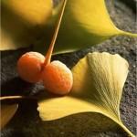 Гинко билоба - Ginkgo biloba L.- през есента