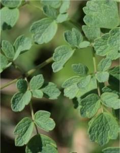 Дребно обичниче - Thalictrum minus L.-лист