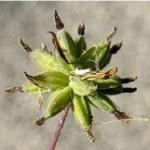 Дребно обичниче - Thalictrum minus L.-плод