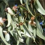 Random image: Евкалипт - Eucalyptus globulus Labill-билка