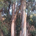 Random image: Евкалипт - Eucalyptus globulus Labill-в природата
