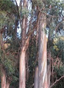 Евкалипт - Eucalyptus globulus Labill-в природата