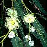 Random image: Евкалипт - Eucalyptus globulus Labill-цвят