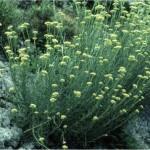 Random image: Естрагон - Artemisiae Dracunculus-билка