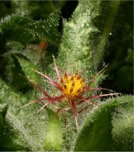 Пресечка - Cnicus benedictus L.-билка