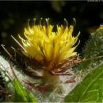 Random image: Пресечка - Cnicus benedictus L.-семена