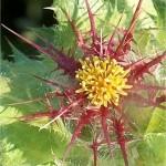 Пресечка - Cnicus benedictus L.-цвят