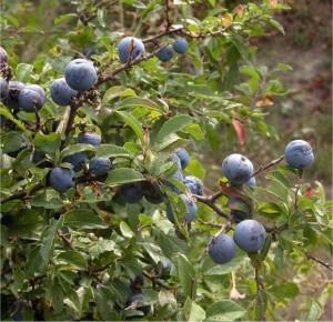 Трънка - Prunus spinosa L.-билка