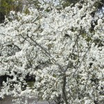 Трънка - Prunus spinosa L.-храст